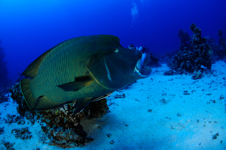 cheilinus undulatus: Napoleon Fish in front of the camera Indian Ocean MaldivesII Stock Photo