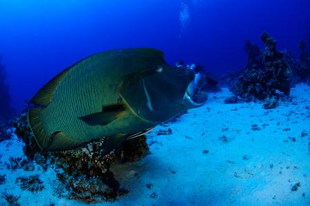 napoleon fish: Napoleon Fish in front of the camera Indian Ocean MaldivesII Stock Photo