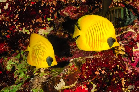 sealife: A pair of butterfly fish under a sea of clear water