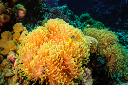 stony corals: Anemone,or  Actinia home or clownfish, urticante marine animal