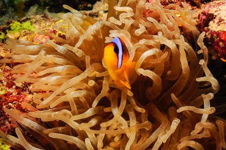 peces payaso: Un pez payaso an�mona de la defensa de su