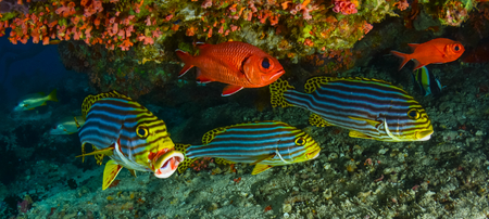 soldier fish: Sweetlips and Soldier fish,under a reef.