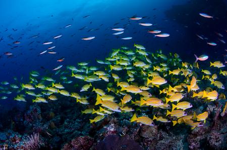 indian ocean: Shoal of Sweetlips,under a beatiful Indian Ocean Stock Photo