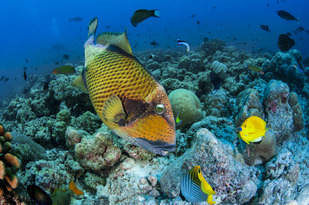 balistoides: detail titan triggerfish  funder the waters of the Indian Ocean Stock Photo