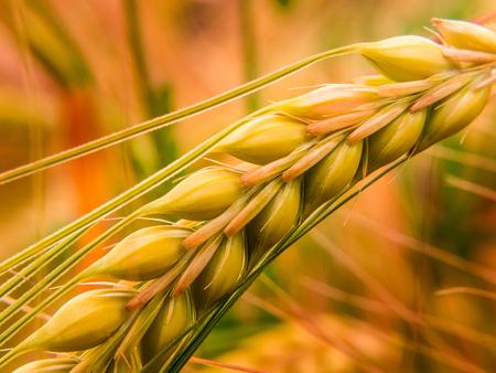 grain fields: close up shot of an ear of wheat Stock Photo