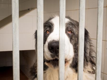 jailed: Pyrenean Mastiff dog enclosed with sad look