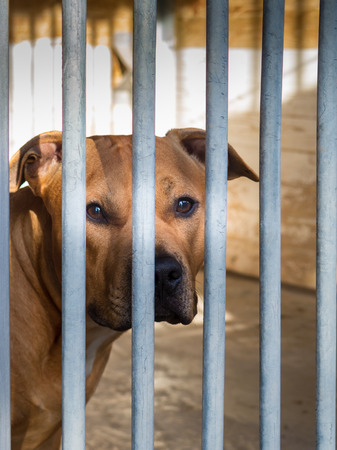 mirada triste: American Staffordshire Terrier behind bars with sad look