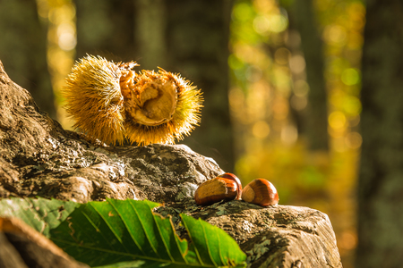 Close up shot of  chestnuts freshly fallen from the tree Stock Photo