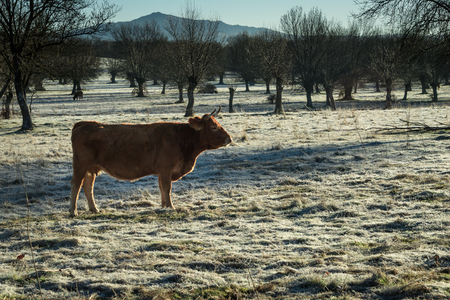 The first frosts begin to cover the fields at the arrival of winter. Livestock feels the arrival of cold