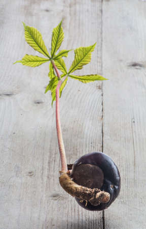 horse chestnut seed: Horse chestnut seed germinated