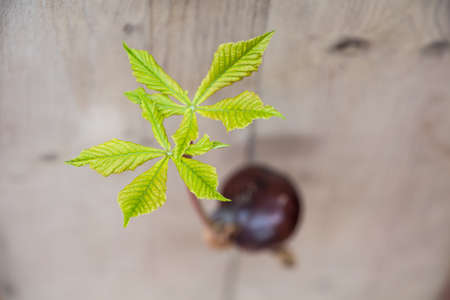 conker: Horse chestnut seed germinated