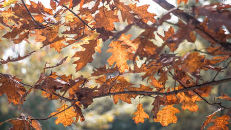 brown and red oak autumn leaves on the branches in transparency Stock Photo