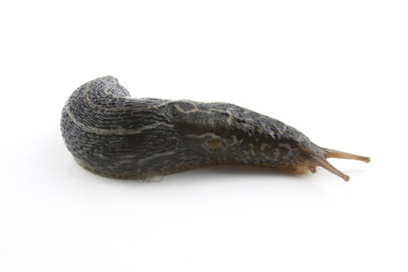 babosa: Slug aislado en blanco