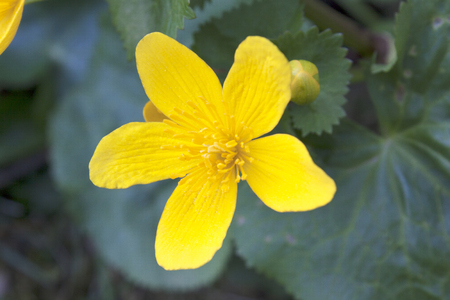 five petals: Yellow flower with five petals