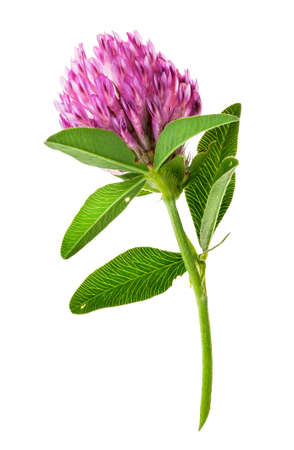 Single clover flower vertically isolated on white background