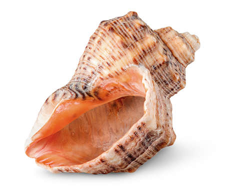 Seashell rapana vertically rotated Stock Photo