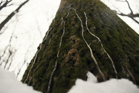 Tree with moss close up winter landscape forest background Stock Photo