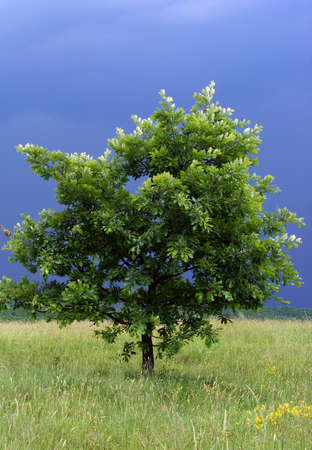 lonely tree with a storm in its back,green and blue colors photo