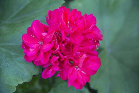 foglie: fiore di geranio