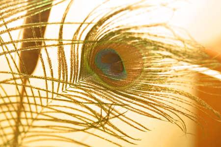 peacock: Golden peacock feather