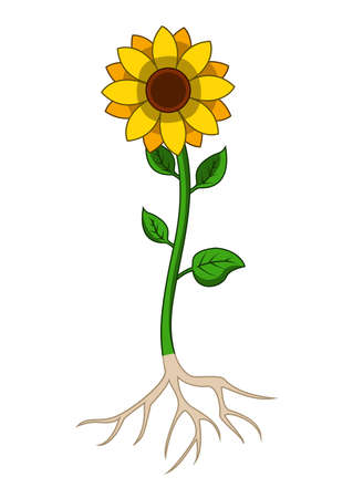 Illustration of sunflowers tree with root system