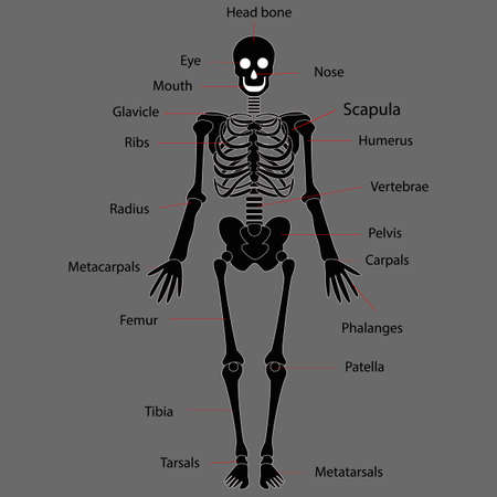 Human skeleton system on white background