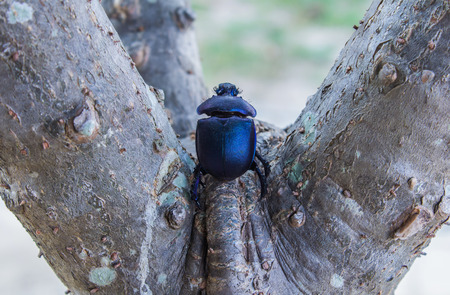 hexapoda: flower beetle of Inthanon mountain in thailand