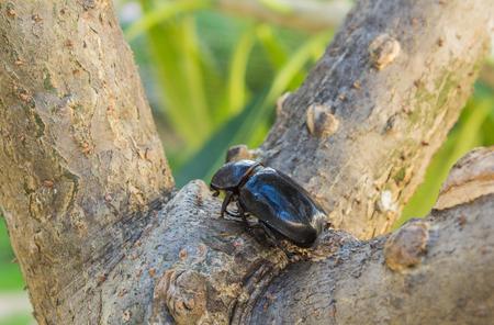 hexapoda: female beetle on tree