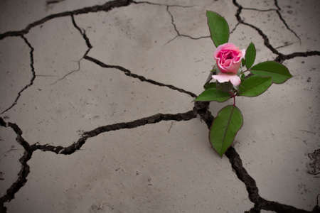 A pink rose on a stem sprouted from a dry cracked soil