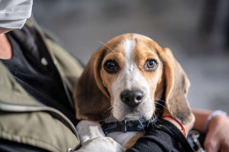A woman with a face mask is holding a little beagle with sad eyes