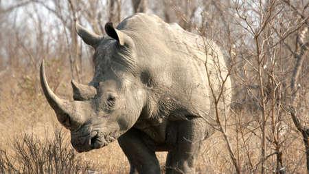 Rhinoceros, Sabi Sands Game Reserve, Kruger National Park, South Africa Stok Fotoğraf - 6427413
