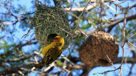 Weaver bird, Montagu, Little Karoo, South Africa