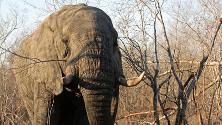 Adult Elephant Bull, Sabi Sands Game Reserve, South Africa photo
