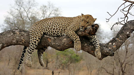 Relaxed Leopard in the tree, Sabi Sands, Kruger National Park, South Africa