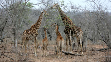 Giraffe family, Sabi Sands, Kruger National Park, South Africa photo