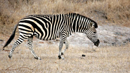 Zebra, Sabi Sands, Kruger National Park, South Africa Stock Photo - 6977011