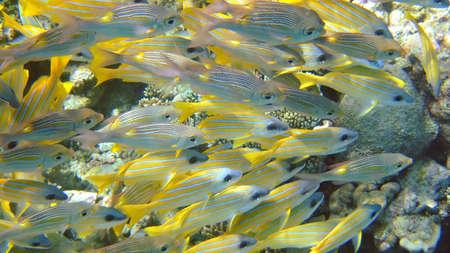ari: Shoal of Yellow Snapper, Ari Atoll, Maldives