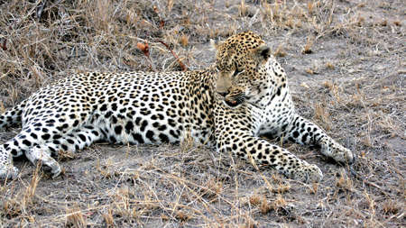 Closeup of a wild leopard, Kruger National Park, South Africa photo