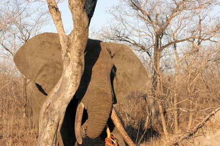 Elephant bull feeding on a tree, Sabi Sands Game Reserve, South Africa photo