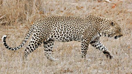 Wild Leopard, Sabi Sands, Kruger National Park, South Africa photo