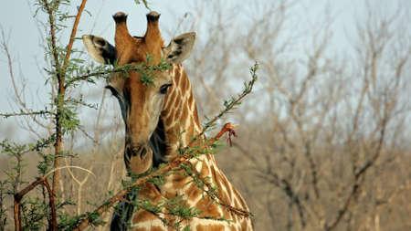 Wild Giraffe Portrait, Sabi Sands Game Reserve, Kruger National Paark photo