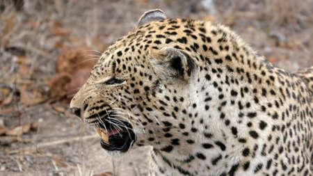 agressive: Agressive Leopard, Sabi Sands, Kruger National Park, South Africa Stock Photo