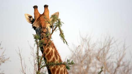 Wild Giraffe Portrait, Sabi Sands Game Reserve, Kruger National Park, South Africa photo