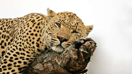 Detail of a resting leopard on a tree, Kruger National Park, South Africa Stock Photo