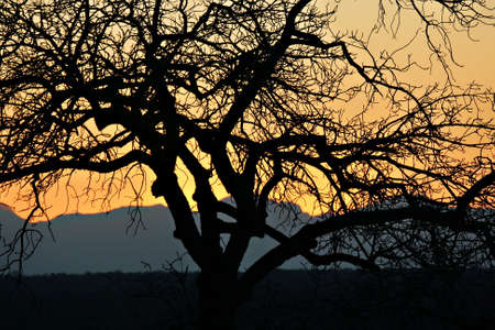 Silhouette of a tree on sunset, Thornybush, Kruger National Park, South Africa Stok Fotoğraf