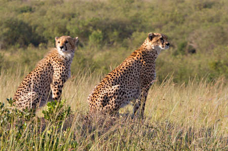 game reserve: Two cheetahs in open grassland,  Masai Mara National Reserve, Kenya, Africa
