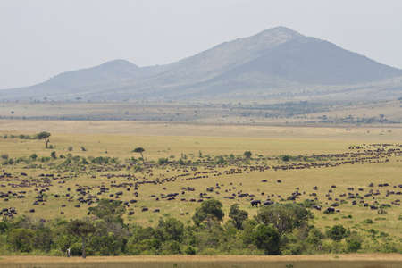 The great migration in the Masai Mara Natural Reserve, Kenya, Africa Stock Photo