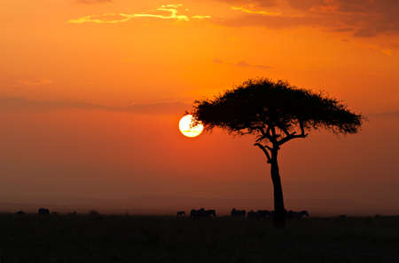 maasai: Sunset in the Masai Maria National Reserve with Acacia tree and silhouttes of Zebras, Keya, Africa
