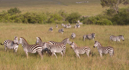 Herd of Zebras in the Masai Mara Game Reserve, Kenya, Africa