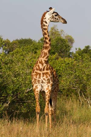 Full portrait of a giraffe, Masai Mara Natural Reserve, Kenya, Africa photo